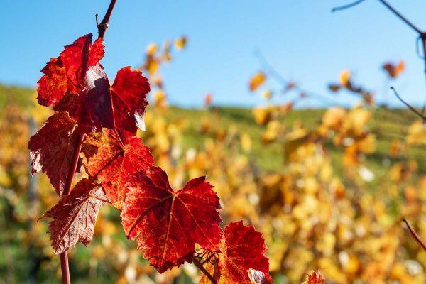 Fotografieren im Herbst - buntes Laub auf dem Weinberg