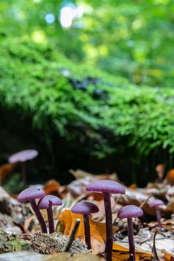 Fotografieren im Herbst - kleine lila Pilze