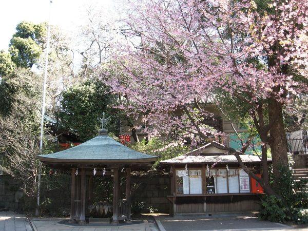 Beginnende Kirschblüte im Ueno Park, Tokyo, Japan