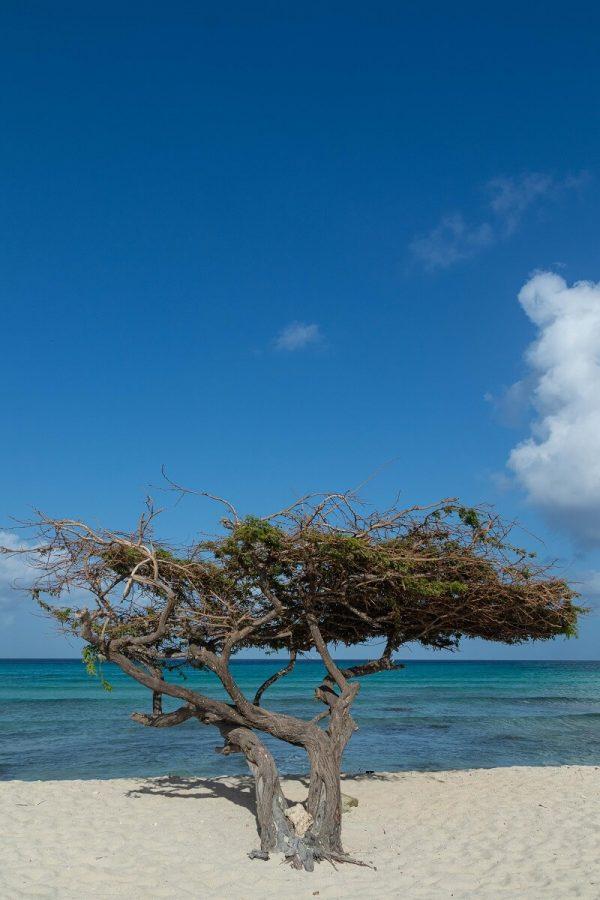 Divi Divi Baum auf Aruba
