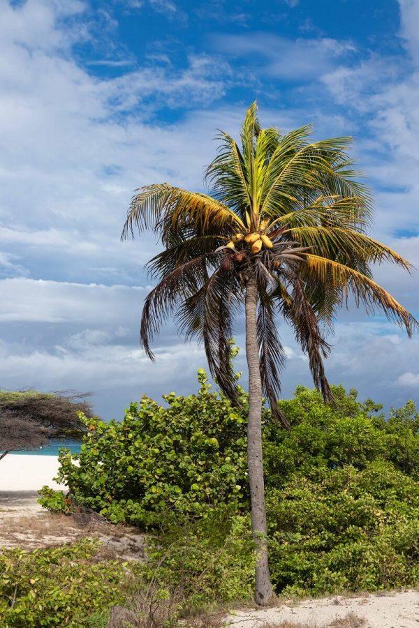 Palme am Eagle Beach auf Aruba