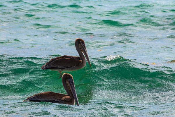 Pelikane nahe am Strand Boca Grandi