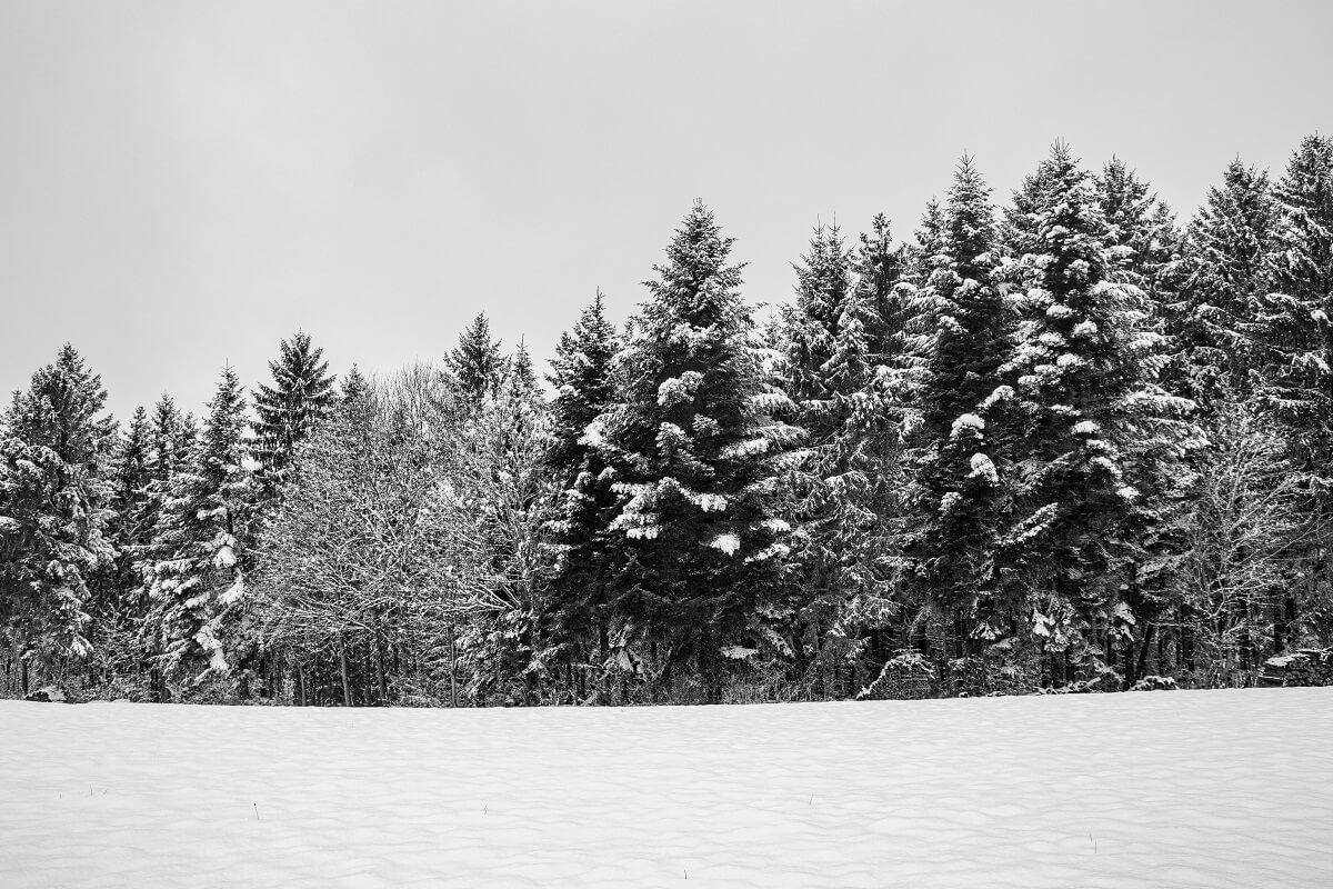 Bäume im Schnee SW