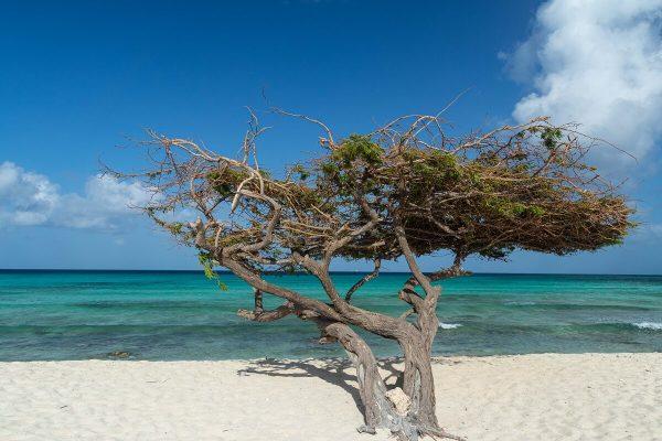 Divi Divi Baum am Arashi Beach Aruba