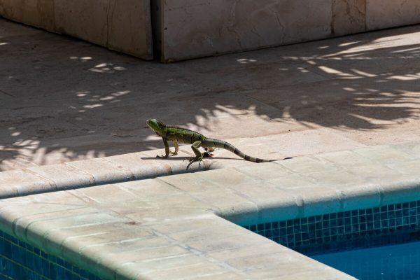 Grüner Luguan, Iguana, Sunset Residence Aruba