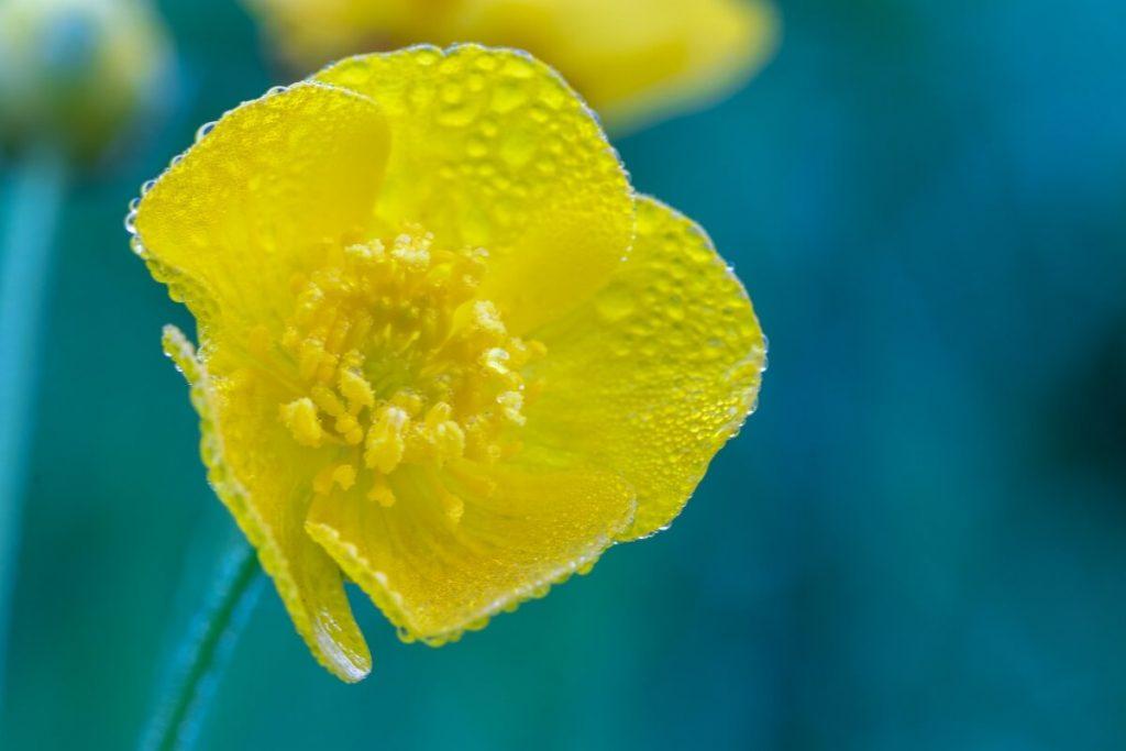 Butterblume Blende f11