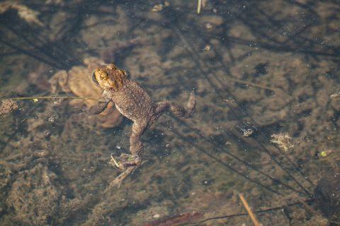 Erdkröten und ihre Laichschnüre